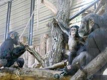俘虏黑猩猩使用 免版税图库摄影