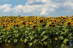 保加利亚向日葵领域在一个晴天 免版税库存图片