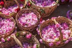 保加利亚桃红色玫瑰 免版税库存图片