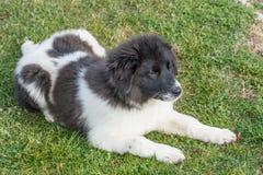 保加利亚牧羊人Karakachan小狗在公园 库存图片