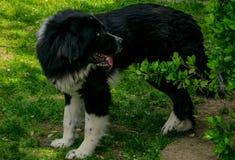 保加利亚牧羊犬 库存图片