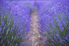 保加利亚的淡紫色领域 免版税图库摄影