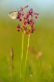 从保加利亚的野生兰花 Orchis或Anacamptis laxiflora,与白色蝴蝶的红色紫罗兰色花 晚上在春天草甸 W 图库摄影