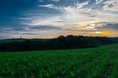 保加利亚绿色年轻玉米田 库存照片