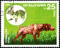 保加利亚-大约1985年:邮票,打印在保加利亚,显示一个德国短毛指针和野兔 免版税图库摄影