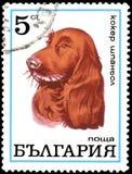 保加利亚-大约1970年:邮票,打印在保加利亚,显示一只猎犬 库存照片