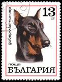保加利亚-大约1970年:邮票,打印在保加利亚,显示一只短毛猎犬短毛猎犬 免版税库存照片