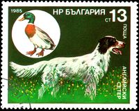保加利亚-大约1985年:邮票,打印在保加利亚,显示一只英国塞特种猎狗和野生野鸭 库存图片