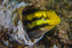 保护在管的黄色梳子牙粘鱼 图库摄影
