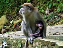 保护她的婴孩的母亲猴子 免版税库存照片