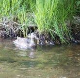 保护她的婴孩的母亲鸭子 图库摄影
