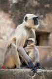 保护它的Cub的灰色叶猴 库存图片