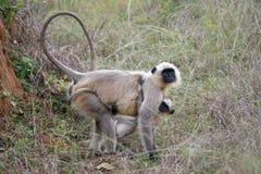 保护它的Cub的灰色叶猴 库存照片