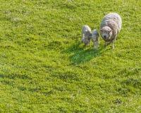 保护羊羔的妈妈绵羊 免版税库存图片