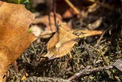 保护臭虫掩藏在老叶子下的Carpocoris fuscispinus 库存图片