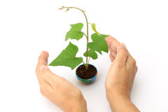 保护婴孩植物的手 免版税库存照片