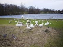 保护他们的巢的天鹅 免版税图库摄影