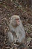 保持它的脚趾的雪猴子 免版税库存照片