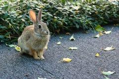 保持平衡的一点小兔开会,耳朵振作了,准备好 免版税库存图片