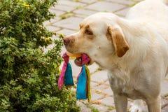 保留在嘴狗玩具 免版税图库摄影