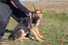 保留德国牧羊犬 免版税库存照片