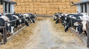 保留母牛和牛在农场 免版税库存图片