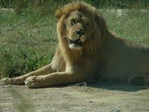 保留狮子的安静 库存图片