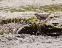 保留红喉刺莺的白色的平衡北斗七星 库存照片