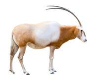 保险开关有角的羚羊属短弯刀 图库摄影