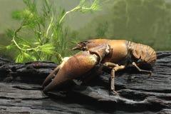 信号小龙虾, Pacifastacus leniusculus 库存照片