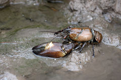 信号小龙虾, Pacifastacus leniusculus 免版税图库摄影