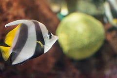 信号旗蝴蝶鱼Heniochus acuminatus 免版税图库摄影