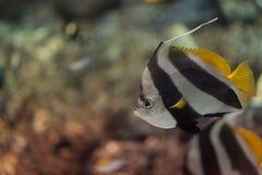 信号旗蝴蝶鱼Heniochus acuminatus 库存照片