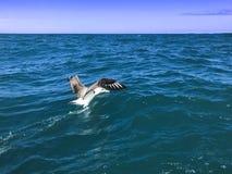 信天翁和海洋 库存照片
