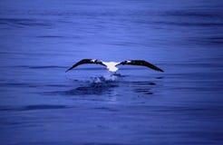 信天翁捕鱼海运 库存照片
