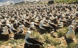 信天翁黑眉毛的殖民地福克兰群岛 库存照片