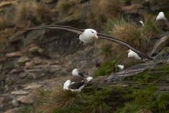 信天翁黑眉毛的福克兰群岛 免版税库存照片