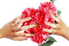 修剪修脚人手概念,在拿着桃红色玫瑰花的心脏形状的妇女手指 库存照片