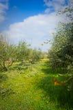修剪橄榄树小树林 免版税图库摄影