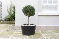 修剪的花园在一个罐的庭院树有装饰小卵石基地替换者的 免版税库存照片