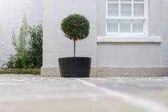 修剪的花园在一个罐的庭院树有装饰小卵石基地替换者的 库存图片