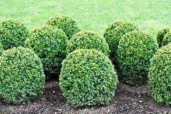 修剪的花园植物 免版税库存照片