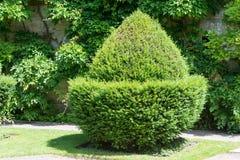 修剪的花园橡子 图库摄影
