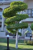 修剪的花园螺旋被形成的树 库存图片