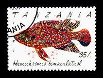 修宝石丽鱼科鱼(Hemichromis bimaculatus),鱼serie,大约1991年 免版税库存照片