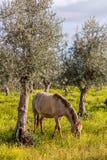 从修改真正的品种,一匹高端Lusitano马的怀孕的母马, 免版税图库摄影