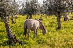 从修改真正的品种,一匹高端Lusitano马的怀孕的母马 库存图片