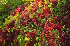 修筑树篱一个秋天晴天,红色叶子 库存照片