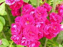 修筑树篱一辆富有地开花的装饰物玫瑰色公共汽车 免版税图库摄影