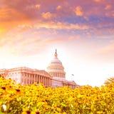 修造华盛顿特区雏菊的国会大厦开花美国 免版税库存图片